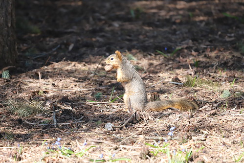 """Fox Squirrels in Ann Arbor at the University of Michigan during my """"Squirrel Run"""" - April 2nd, 2020"""