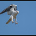 Black-shouldered Kite: In-Coming
