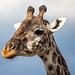 Masai Giraffe, Maasai Mara