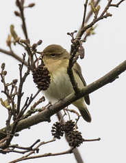 Photo of Chiffchaff Trying to Hide