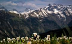 Frühlingsbokeh auf dem Fellhorn - explored