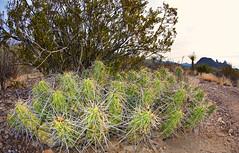 Chihuahuan Desert Cacti