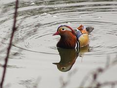 Photo of Male mandarin swimming, 2020 Mar 31 -- photo 4