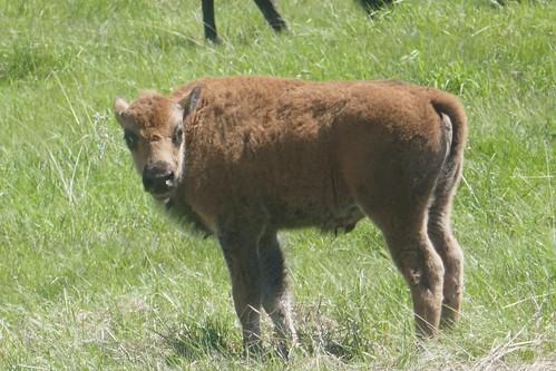 Custer State Park - Bébé bison