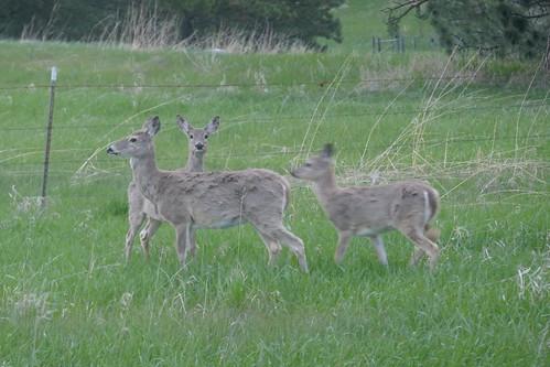 Custer State Park - Cerf Mulet