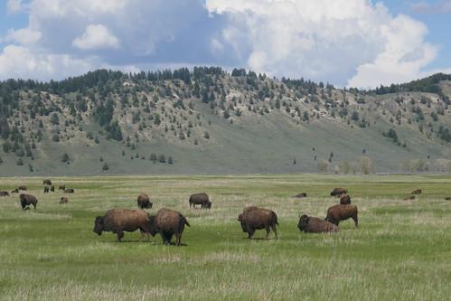 Grand Teton NP - Bisons