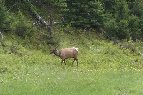 Yellowstone - Mule deer