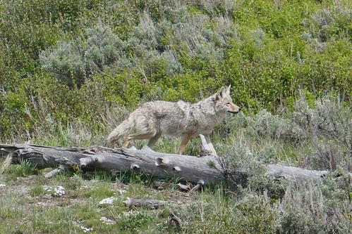 Yellowstone - Loup.JPG