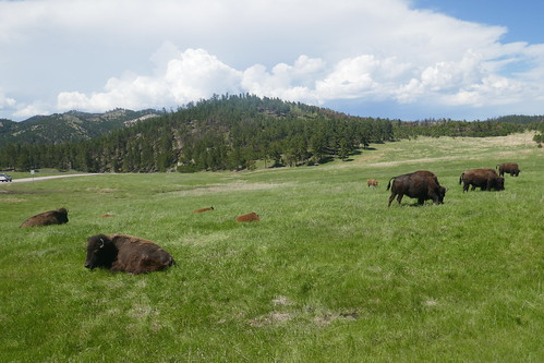Custer State Park - Bisons