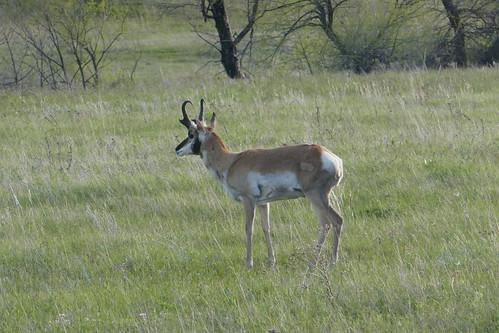 Custer State Park - Antilope d'Amérique