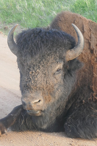 Custer State Park - Bison