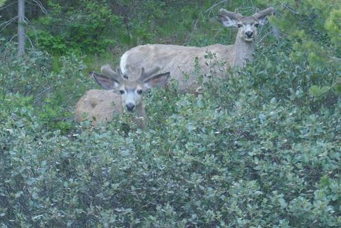 Grand Teton NP - Mule Deer