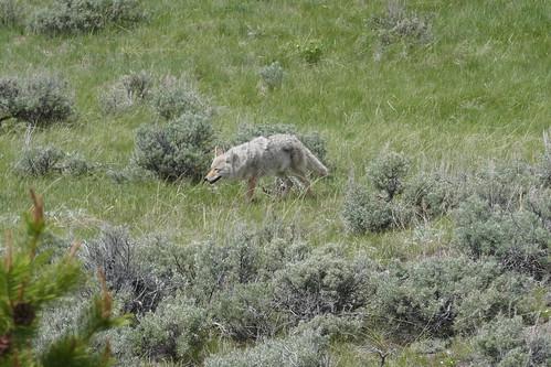 Yellowstone - Loup