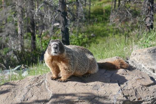 Glacier NP - Marmotte