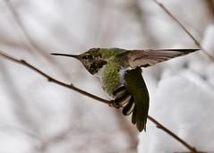 Anna's Hummingbird in snow 9777