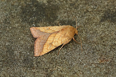 Photo of 73.070 Bordered Sallow (Pyrrhia umbra), Burntisland, Fife