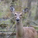 Deer with Spicebush