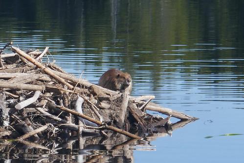 Grand Teton NP - Marmotte