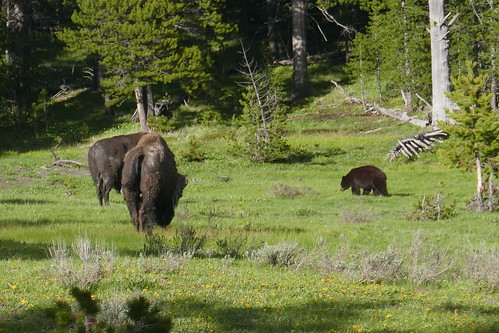 Yellowstone - Ours noir et bisons