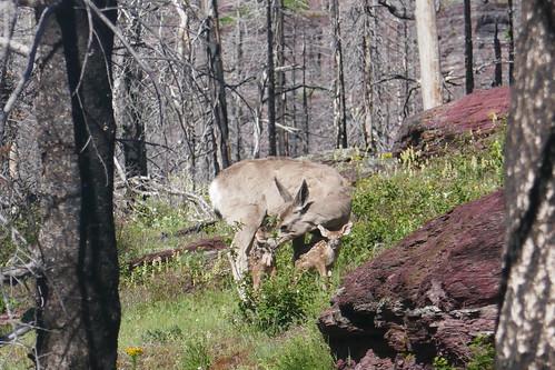 8 - Glacier NP - Bambi