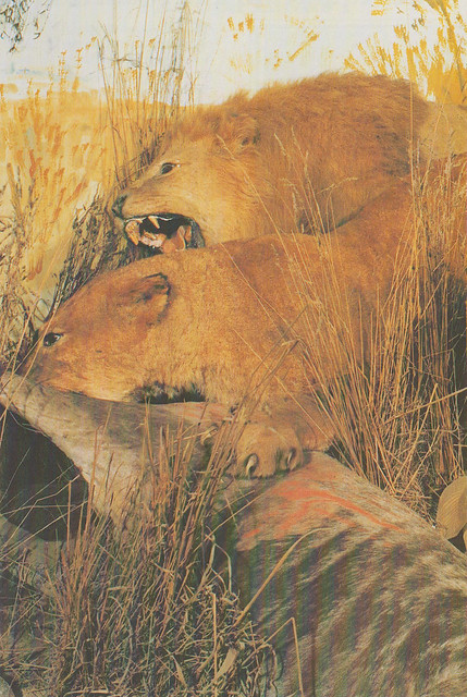 Wildlife Museum - Lions in African Wildlife display