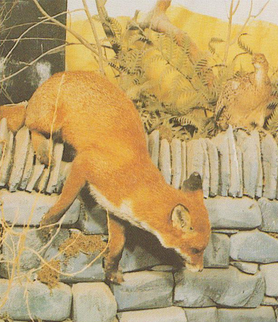 Wildlife Museum - Fox in Native British Wildlife display
