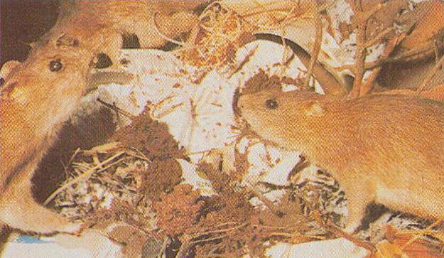 Wildlife Museum - Brown Rat