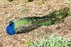 IMG_9784 Peacock