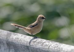 Photo of Bearded Reedling, Juvenile-