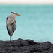 Great Blue Heron, San Cristobal Island, Galapagos