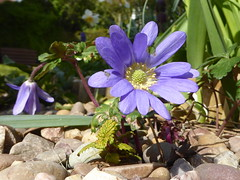Photo of Blue Anemone (Anemone apennina) in my garden 03Apr20