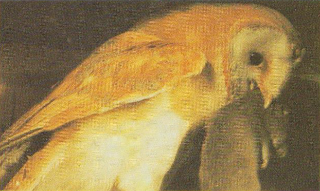 Wildlife Museum - Barn Owl