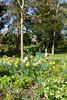 IMG_9777 Daffodils