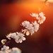 More Purdown Blossom