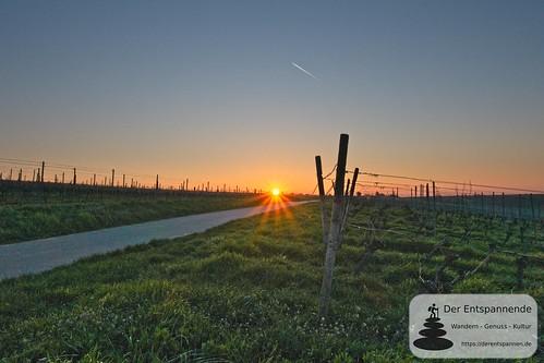 Sonnenaufgang in den Weinbergen über Elsheim