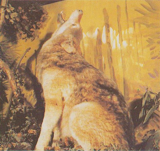 Wildlife Museum - Timber Wolf