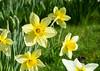 IMG_9787 Daffodils