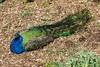IMG_9786 Peacock