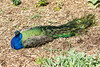 IMG_9785 Peacock