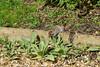 IMG_9781 Grey Squirrel