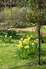 IMG_9776 Daffodils