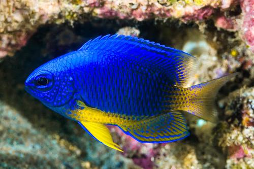 Blue Damsel - Pomacentrus caeruleus