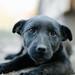 Little black dog portrait.