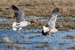 Goose fight