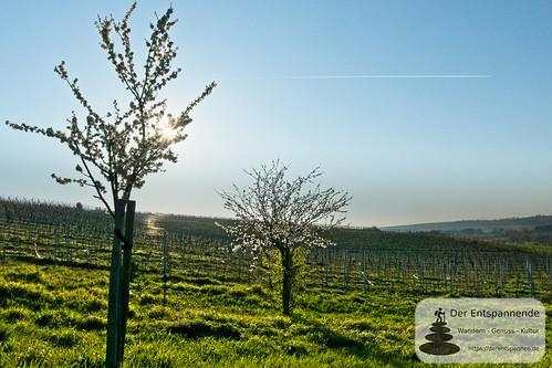 In den Weinbergen über Stadecken im Selztal