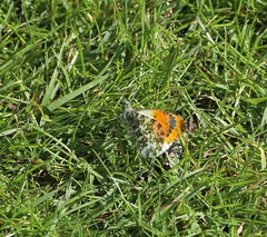 Photo of Male Orange Tip - Nag's Head Cottage