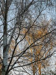 Photo of Sunset birches
