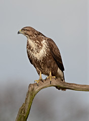 Photo of Buzzard   ( Explored 6,4,2020.)