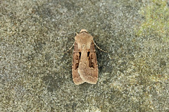 Photo of 73.317 Heart & Dart (Agrotis exclamationis), Burntisland, Fife