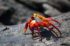 Sally Lightfoot Crab, Santa Cruz, Galapagos
